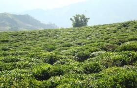 茶葉生產基地