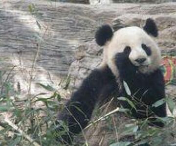 熊貓[哺乳動物]