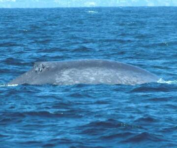藍鯨[海洋哺乳動物]